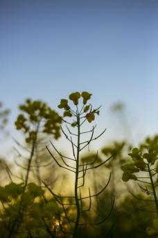 竖图油菜花商用摄影
