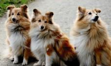 三只金毛狗
