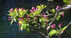 河边的海棠花
