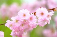 樱花花蕊花朵8k图片素材壁纸