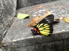 黄黑色蝴蝶