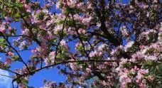 风中的海棠花