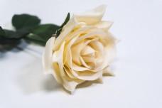 纯白背景单支玫瑰花素材