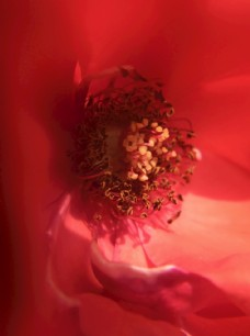 月季花花蕊
