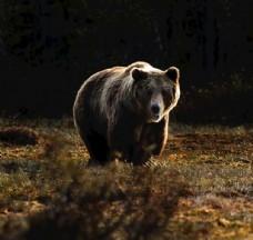 一直在野外寻觅的熊