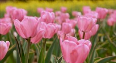 粉白色郁金喷鼻
