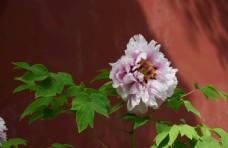 牡丹 牡丹花 花 花卉 国花