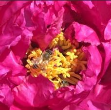 蜜蜂飞舞在春天盛开的牡丹花丛