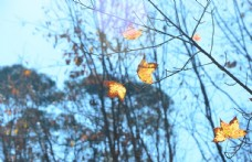 枫叶 枫叶林 秋天的风景 花草