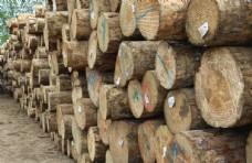 木头  辐射松   年轮