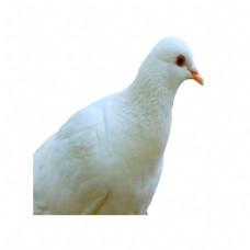 好看的白鸽