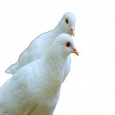 美丽好看的白鸽