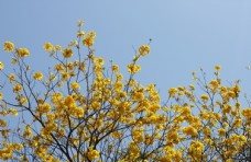 黄花风铃花丛