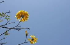黄花风铃花朵特写