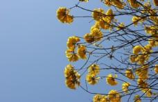 黄花风铃花团锦簇