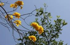 黄花风铃鲜花绿叶