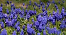 紫色风信子