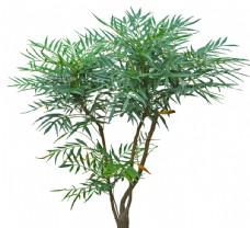 常绿树PSD