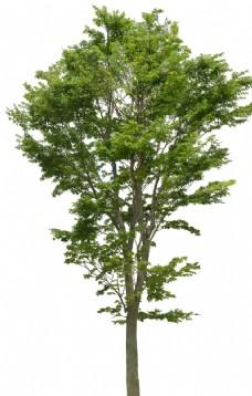 红叶树PSD素材