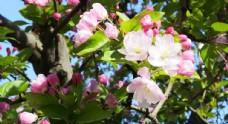 风中盛开的海棠花