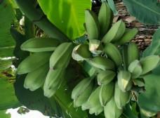 香蕉 芭蕉 水果 果园