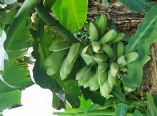 香蕉 芭蕉 水果 果园 绿色