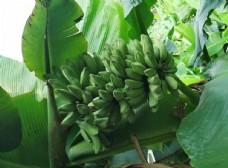 香蕉 芭蕉 水果 果