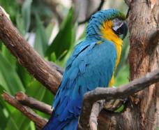 树枝上的蓝色羽毛鹦鹉