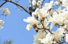 白玉兰开花