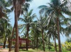 三亚椰林 风景