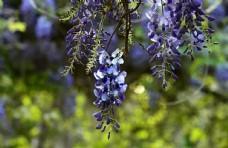 紫藤花图片植物图片花瓣