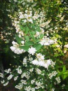 白花重瓣溲疏