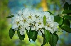 苹果花图片花瓣图片花蕊植物