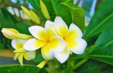 黄白色鸡蛋花