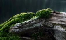 枯木与青苔