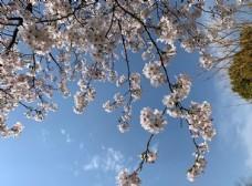 蓝天下的樱花