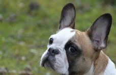 法国斗牛犬肖像