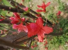 红色山杜鹃