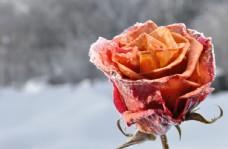 雪地里的玫瑰花