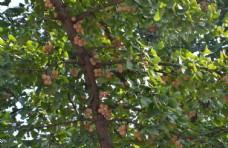 金秋银杏果