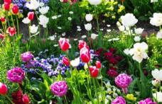 多种色彩的郁金香
