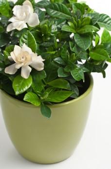 白色的栀子花