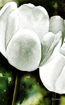 白色郁金香插画