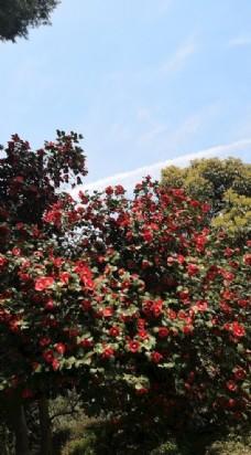 蓝天和山茶花树