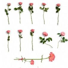 七夕情人节玫瑰花