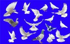 鸽子分层素材集合