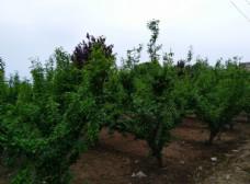 绿油油的果树