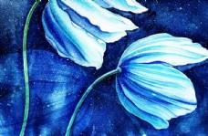 喜马拉雅的蓝色雪莲