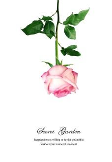 玫瑰花英文