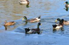 冬日野鸭戏水